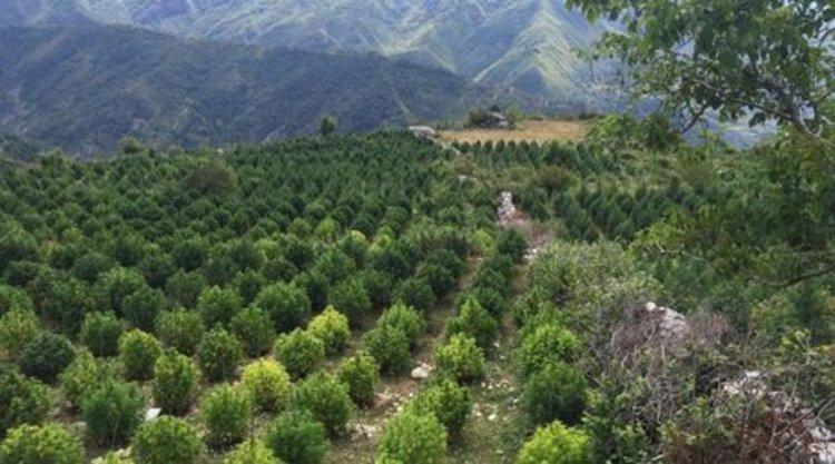 Албания - рай на марихуаната
