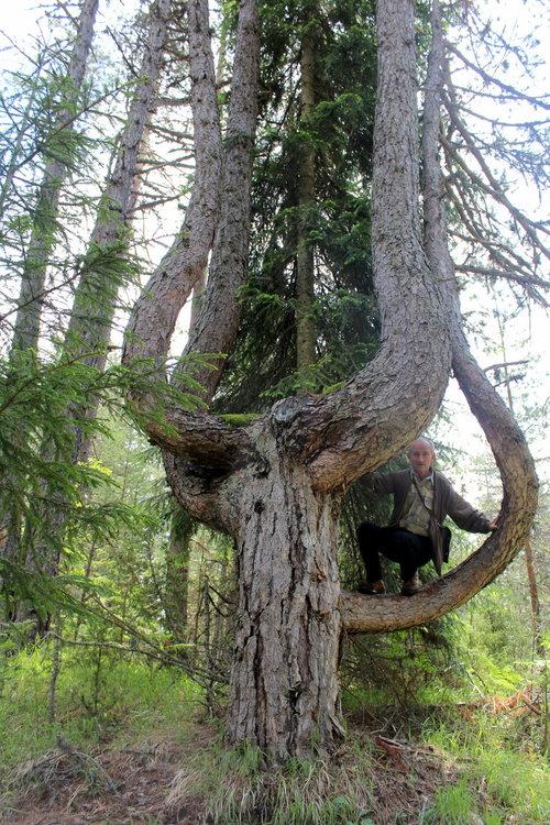 Вековно дърво от вида Черен бор  край село Борино е обявено  за защитено