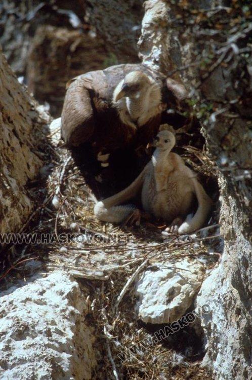 Повишава се популацията на белоглавите лешояди в Източните Родопи