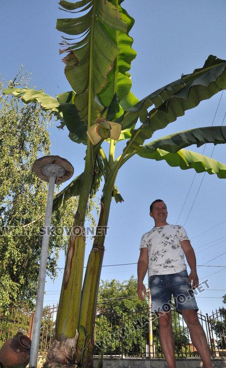 Хасковлии отгледаха палма с 50 банана в Болярово