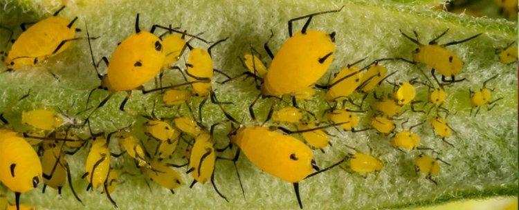 """САЩ създават армия от ГМО насекоми, за да """"спасят посевите"""""""