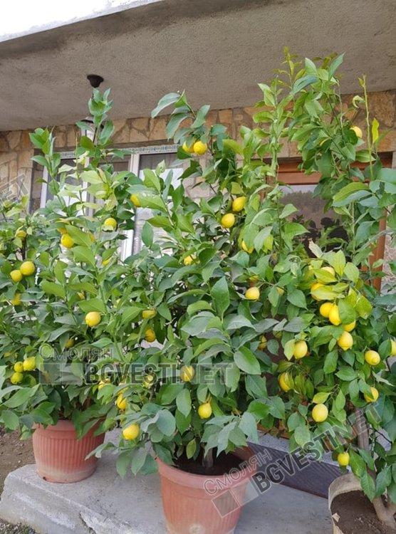 Лимоновите дръвчета пред дома на Севдалин в Неделино