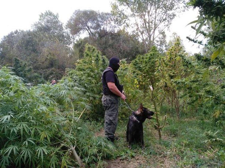 Хванаха инспектор от БАБХ, имал плантация с марихуана (видео)