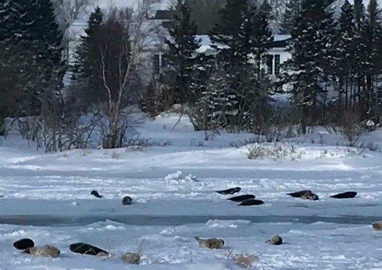 Объркани тюлени препълниха канадски град