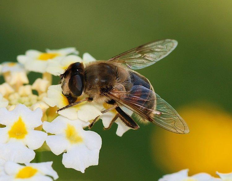 Еристалис, когато стане насекомо