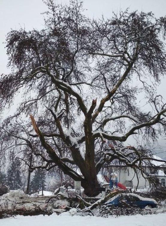 Екоинспекцията в Смолян: Пречупеният от снега 300-годишен чинар ще се възстанови