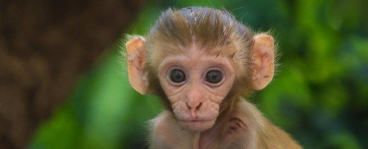 Китайски експеримент създаде маймуни с човешки мозъчни гени