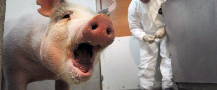 Възстановиха някои функции на мозъка на свиня четири часа след нейната смърт