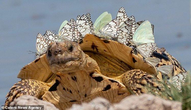 Уникални кадри: Рояк пеперуди на костенурка