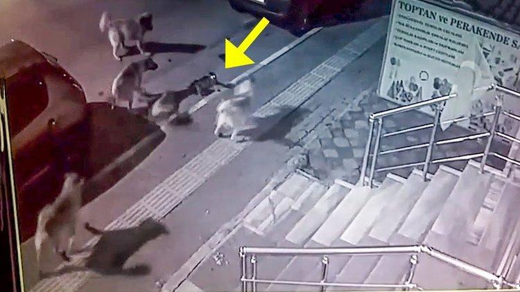 Котка победи шест кучета (видео)
