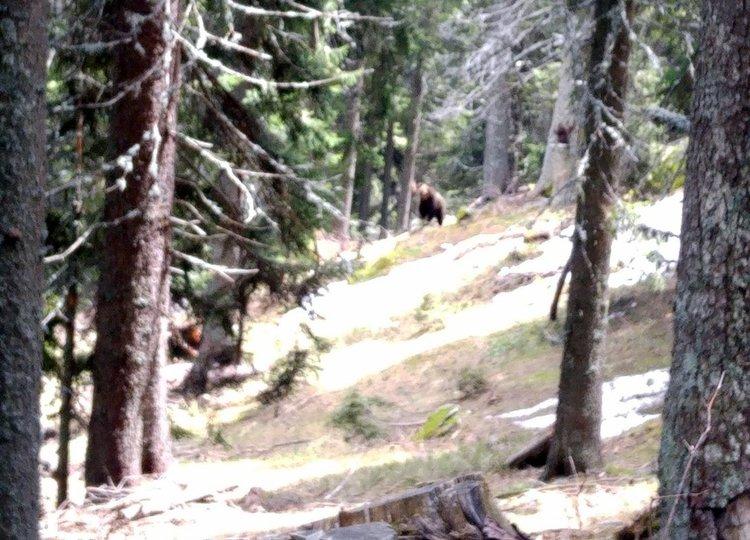 Смолянчанка срещна мечка от близо докато обикаля гората като стражар