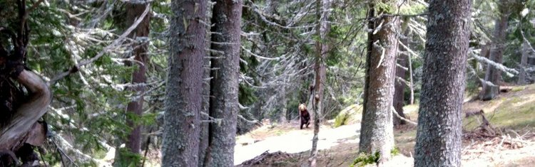 Мечка с малко от разстояние 50 метра срещна днес горският стражар Петя Цекова, снимките са от личния й профил в социалната мрежа