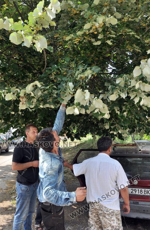 Ангел Калайджията: 40 000 лева изкарваме от метене на липа