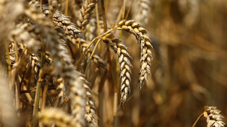 ГМО пшеница е открита в дивата природа