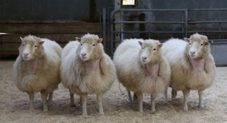 Какво се случва с братята и сестрите на клонираната овца Доли?