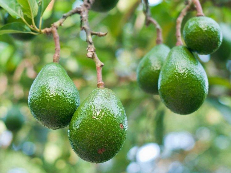 Авокадото, кафето и цитрусите застрашават продоволствената сигурност