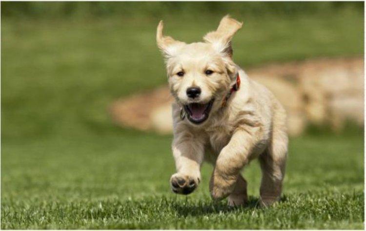 Редактирането на гени с CRISPR победи мускулната дистрофия при кучета