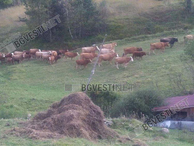 Нашествие на гръцки крави през границата тормози жителите на Горна Арда