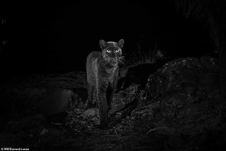 Заснеха черен леопард за пръв път от 110 години
