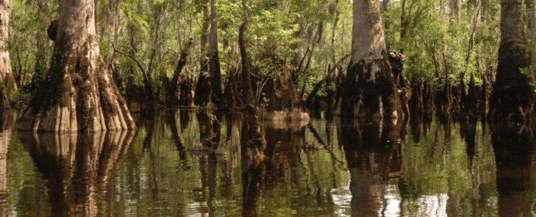 Дървета от времето на Вавилон, открити в блато в Северна Каролина