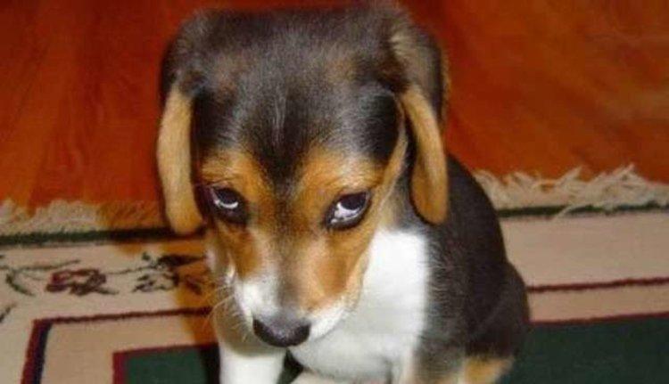 Какво всъщност означава виновният кучешки поглед