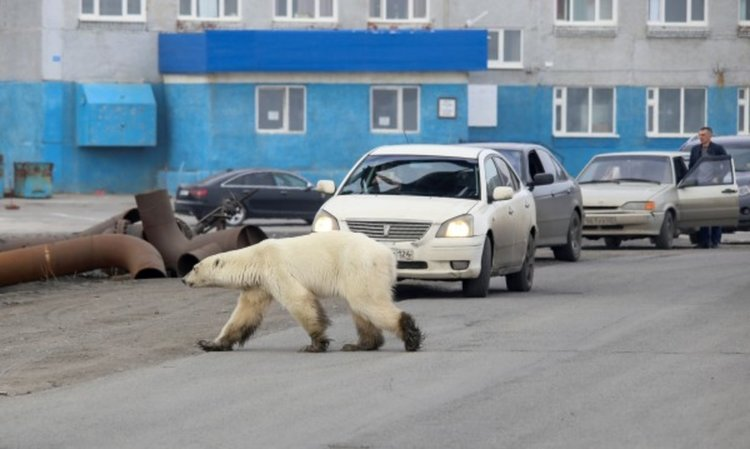 Полярна мечка изненада жителите на руски град