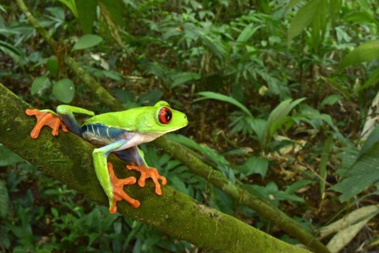 Червеноока дървесна жаба (Agalychnis callidryas). (Тронд Ларсен / Conservation International)