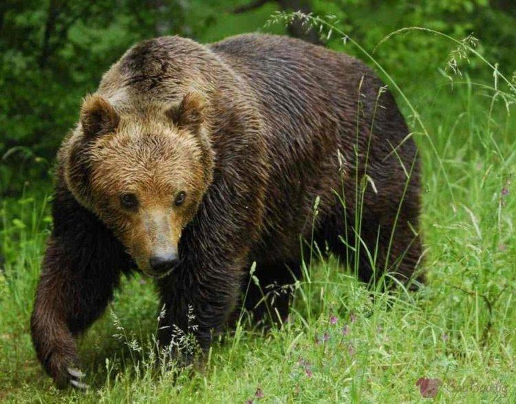 Министерството разреши отстрел на три мечки, от месеци тормозят стопаните в Смолянско