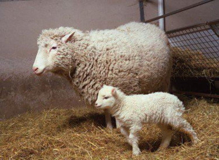 На снимка от 1998 г. овцата Доли с дъщеря си Бони. Снимка: ROSLIN INSTITUTE
